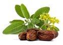 jojoba plant