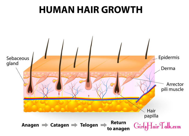 Chart of hair growth stages and parts of the human scalp.